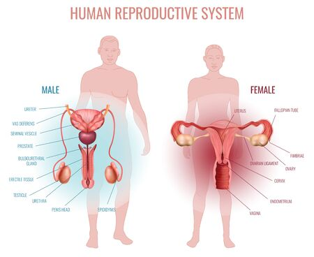 Illustration pour Realistic set with male and female reproductive system and silhouette of man and woman isolated vector illustration - image libre de droit