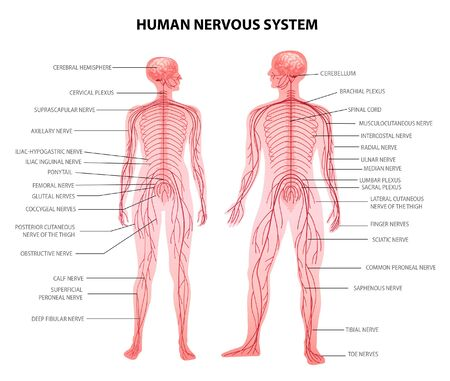 Illustration pour Human male female body central and peripheral nervous system realistic physiology educative chart anatomical terminology vector illustration  - image libre de droit
