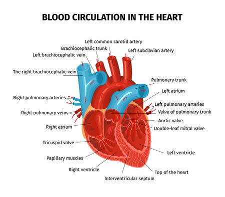 Illustration pour Anatomy heart circulation blood composition with editable text captions pointing to different parts of human heart vector illustration - image libre de droit