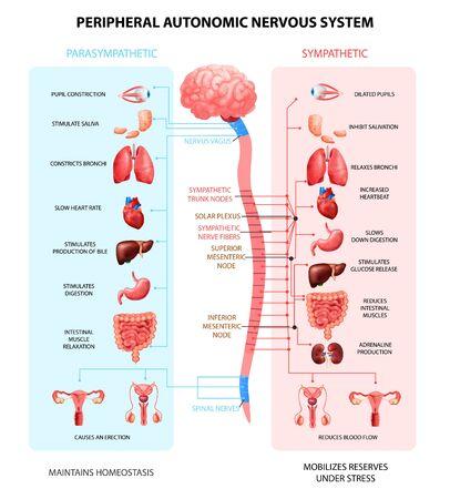 Illustration pour Human peripheral autonomic nervous system with sympathetic spinal cord neurons signal communication realistic colorful scheme vector illustration - image libre de droit