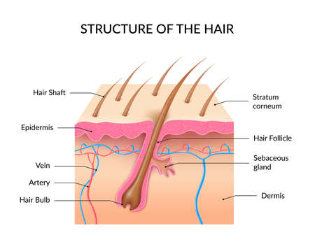 Illustration pour Human hair anatomy infographics with cross section of skin layers hair follicle bulb and shaft and sebaceous gland realistic vector illustration - image libre de droit