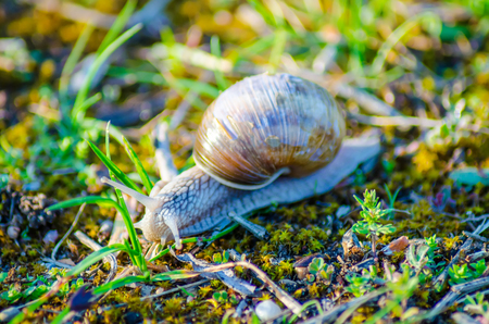 A large snail slowly crawls along the grass.