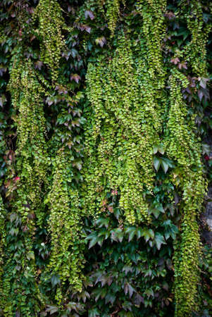 Photo for Colorful autumn Ivy leaves growing on a wall - Royalty Free Image