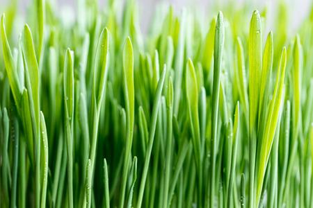 Close-up of young green barley grass, selective focus