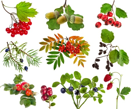 Collection set of wild forest berries plants fruits isolated on white background