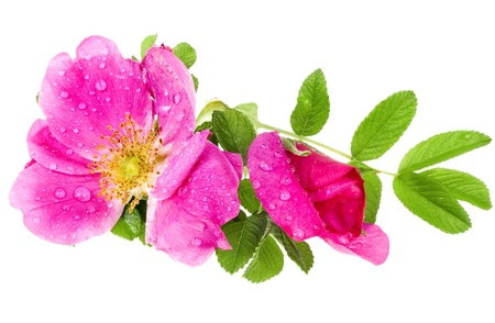 wild rose isolated on white background
