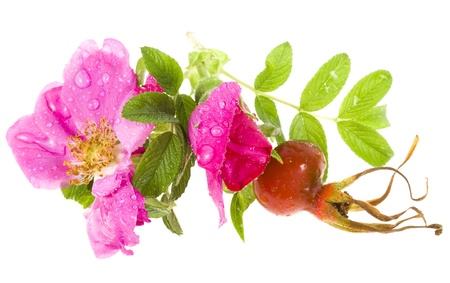 brier , wild rose isolated on white background