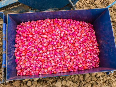 corn seed chemically treated for seeding