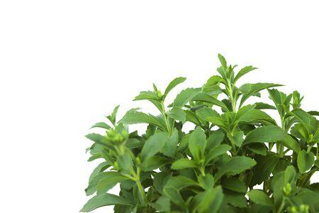 Photo for Stevia Rebaudiana plant isolated on white background - Royalty Free Image