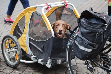 Photo for dog in a bicycle trailer - Royalty Free Image