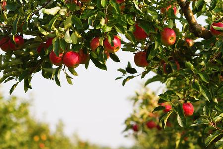 Photo pour apple tree in an orchard - image libre de droit