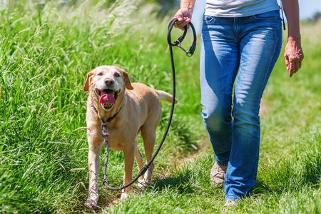 Photo for mature woman hiking with a labrador retriever in the summer landscape - Royalty Free Image