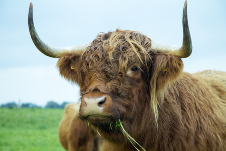 Brown highland cow eating grass on a cloudy day.