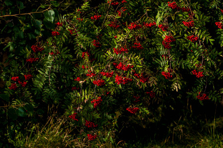 Photo pour Autumn berries on the tree. Useful edible Rowan is rich in vitamins and good for health. - image libre de droit
