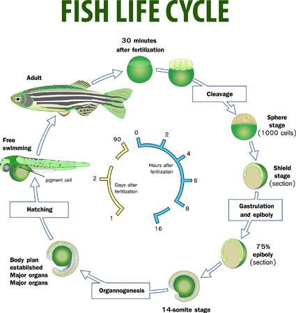 Photo pour Vector illustration of Fish life cycle - image libre de droit