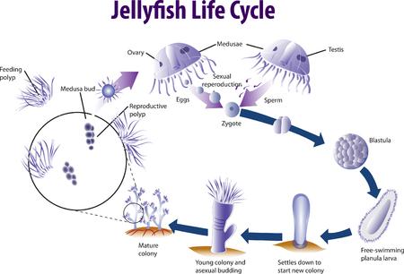 Illustration pour Vector illustration of Jelly fish life cycle - image libre de droit