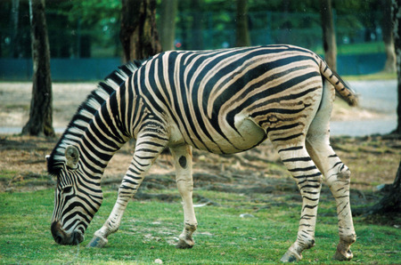 Foto per zebra - Immagine Royalty Free