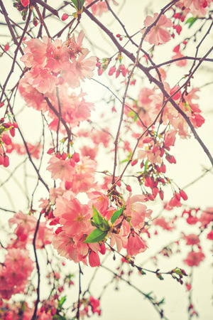 Beautiful flowering Japanese cherry - Sakura. Flowers on a spring day on soft background. Vintage color toned abstract nature background