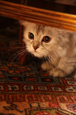 Small cat hiding under the table