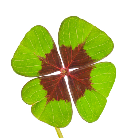 Four-leaf clover on white background