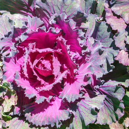 Purple Ornamental cabbage in close up; Flower garden in winter Hanes