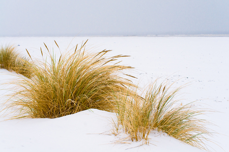 Marram grass on snow-covered beach