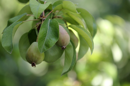Foto für Fresh pears on branch of pear tree, macro shot - Lizenzfreies Bild