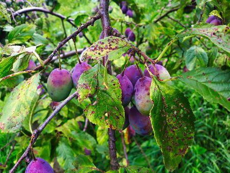 Photo pour Unripe plums on the branch, the plums begin to blue. Orchard plum. - image libre de droit