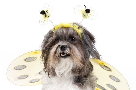 Close portrait of a cute doggy wearing bumble bee costume with wings and antennae. Bichon Havanese dog dressed up for Halloween.