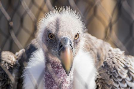 Foto per A Closeup Head Shot of a Griffon Vulture - Immagine Royalty Free
