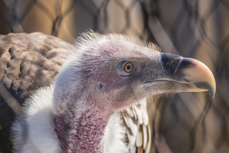 Foto per A Profile Head Shot of a Griffon Vulture - Immagine Royalty Free