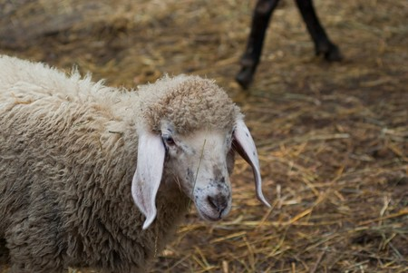 face of a sheep on a farm in the mountains in summer