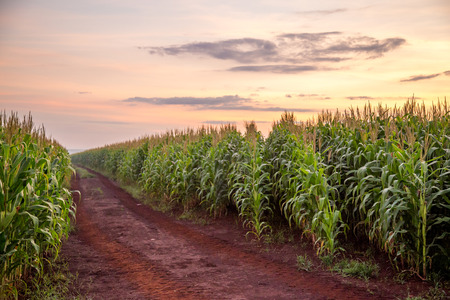 Photo for Corn Plantation - Royalty Free Image