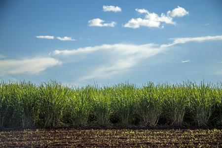 Photo pour Sugar cane plantation sunset - image libre de droit