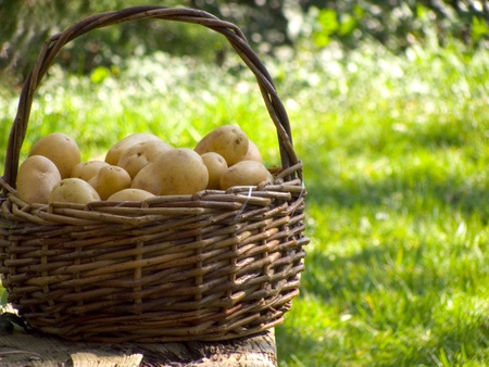 A basket full of fresh potatoes