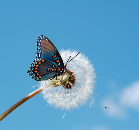 Photo pour Butterfly on a dandelion - image libre de droit
