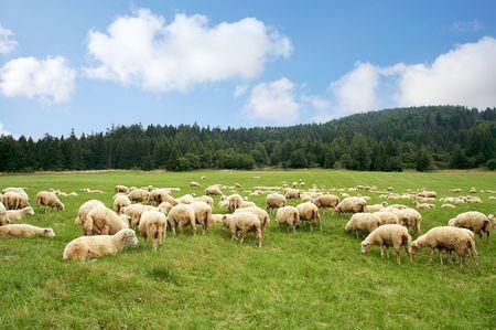 Herd sheep on a beautiful green meadow