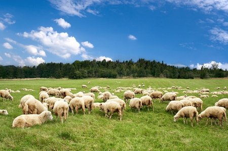 A lot sheep on the beautiful green meadow