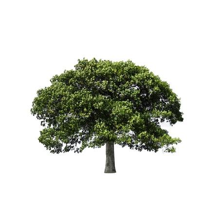 Oak tree in full leaf