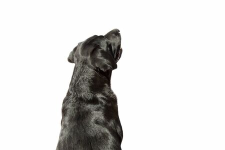 Photo pour Soft focus close-up of a Labrador seen from behind on white background. - image libre de droit