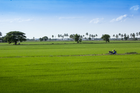 Rice field and agriculture  in suphanburi province Thailand