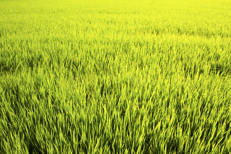 rice field  in suphanburi province Thailand