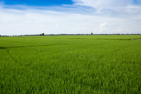 wide shot of Rice field and agriculture  in suphanburi province Thailand