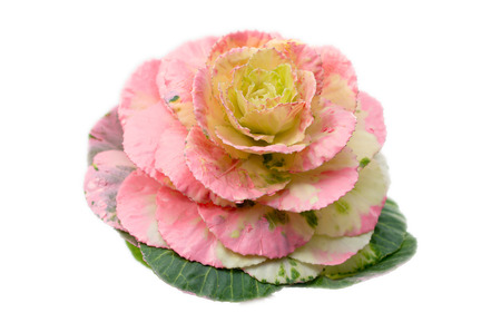 Detailed view of beautiful ornamental kale on a white background