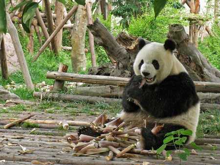 Adult Giant pandas eating bamboo in Chengdu Giant Panda Research