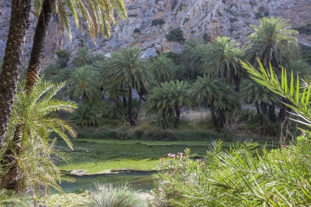 Palm trees at the Preveli Palm Forest in Crete, Greece