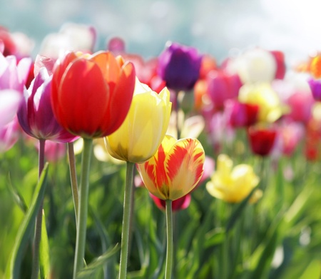 red, pink and yellow tulips blooming in a garden