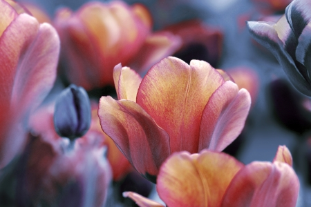 dark and yellow orange tulips - sorrow and mourning concept