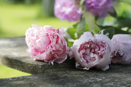 Photo for home garden flowers (peonies) on wooden plank - Royalty Free Image