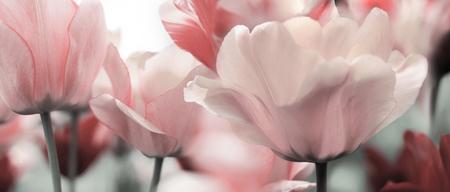 Foto de light pink toned blooming tulips in a garden - Imagen libre de derechos